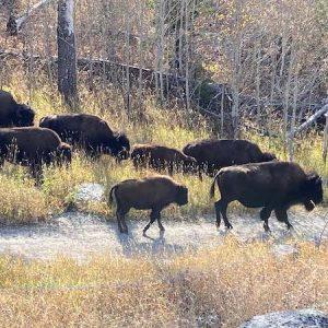 Bison on Slough Creek Trail